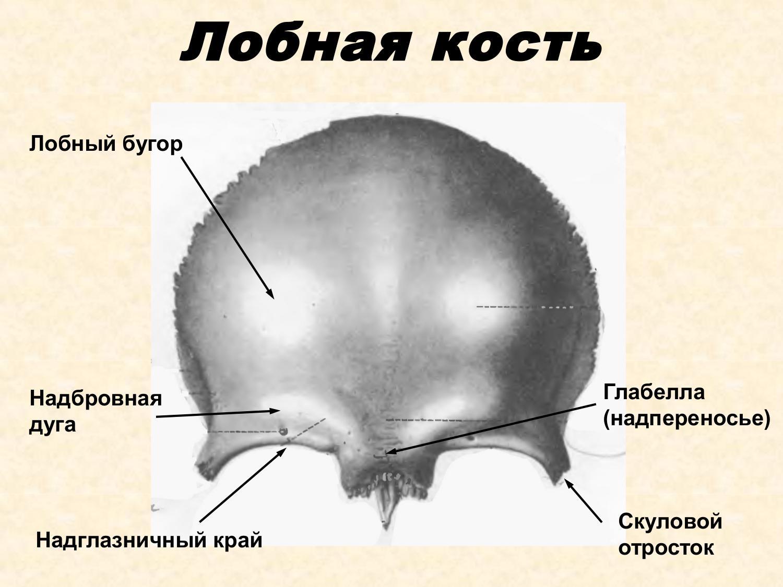анатомия лобной кости