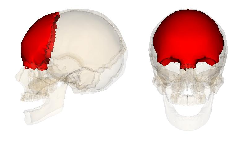 лобная кость