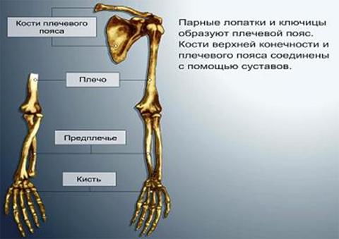 места переломов руки