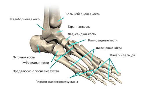 строение костей стопы